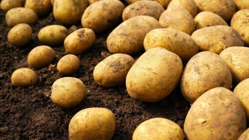 Высокоурожайный фиолетовый сорт картофеля «василек» от отечественных селекционеров