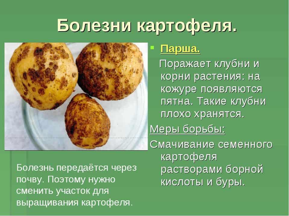 Фузариоз картофеля: меры борьбы, фото и описание