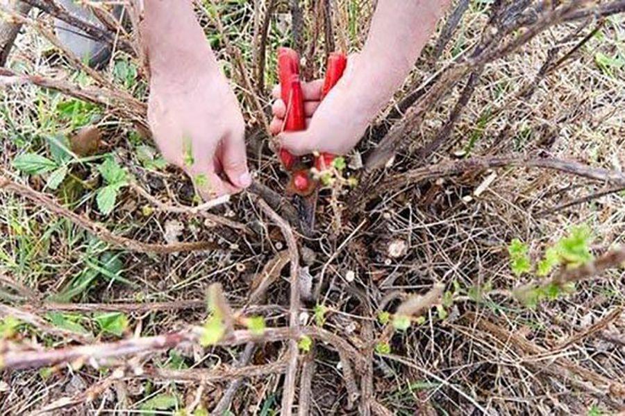 Причины отсутствия плодоношения у кустов черной смородины