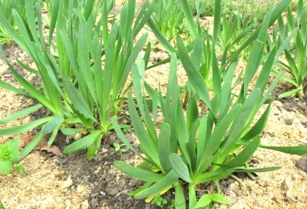 Лук-слизун: полезные свойства, посадка и уход в открытом грунте