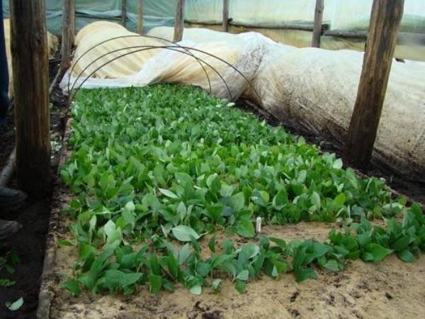 Размножение садовой голубики: черенками, семенами отводками, микроклональный способ, особенности для регионов, в том числе для белоруссии