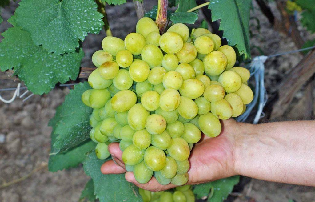 Виноград галахад: описание сорта с характеристикой и отзывами, особенности посадки и выращивания, фото