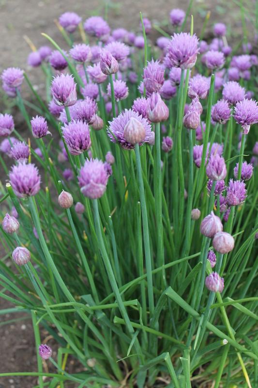 Шнитт-лук: что это такое, выращивание, уход, фото, лучшие сорта