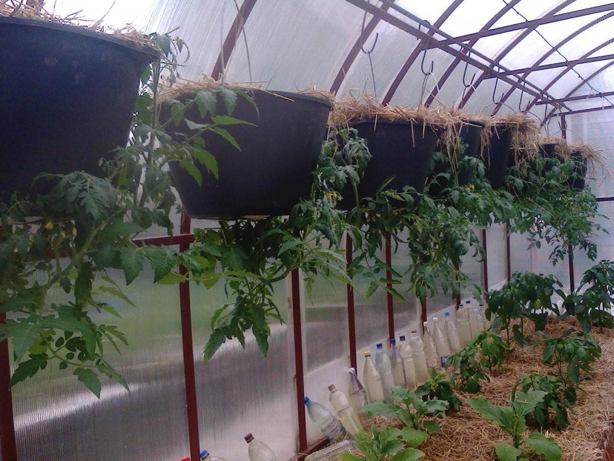 Помидоры вверх ногами, выращивание растений в перевернутом виде