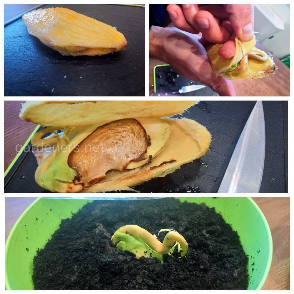Как вырастить манго из косточки в домашних условиях. мой опыт выращивания мангового дерева.