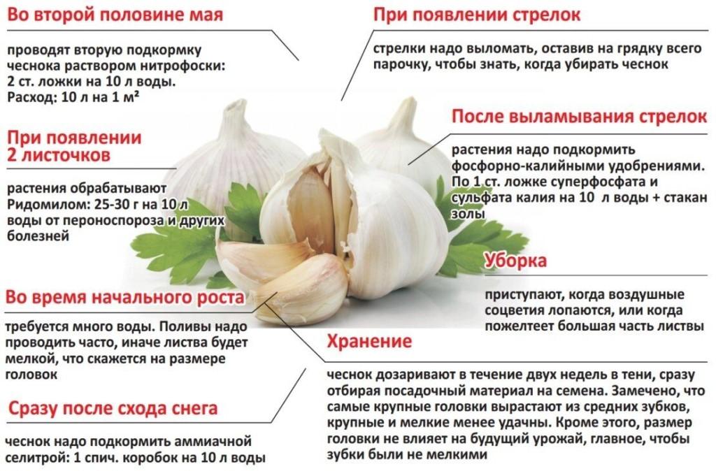 Сорта озимого чеснока: описание, фото, основные характеристики