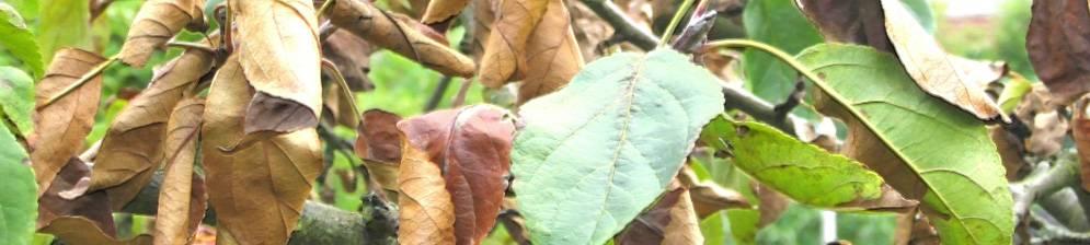 Что делать, если на яблоне сохнут листья? 16 фото почему в июне вянет и потом засыхает листва и цветы? болезни и их причины