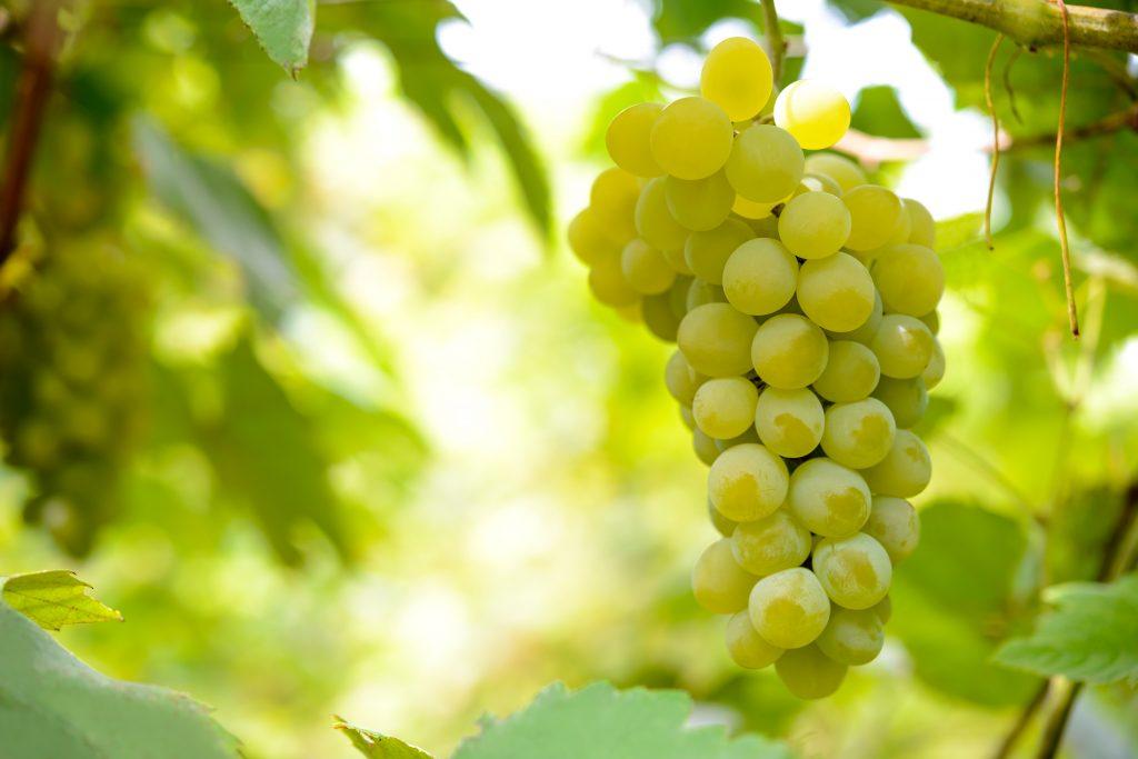 Виноград кодрянка: описание сорта, особенности посадки и выращивания