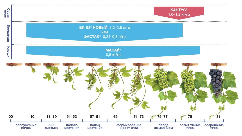 Как часто надо поливать виноград летом во время созревания ягод
