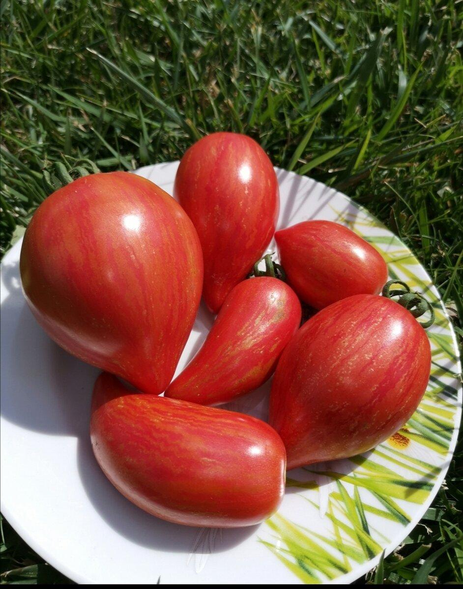 Семена томат дон жуан: описание сорта, фото. купить с доставкой или почтой россии.