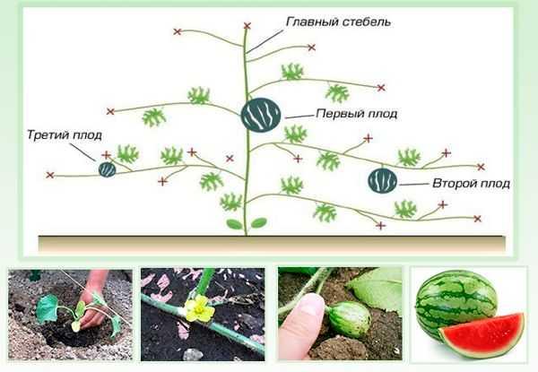 Посадка арбузов в теплице: подготовка почвы и семян, уход за растениями