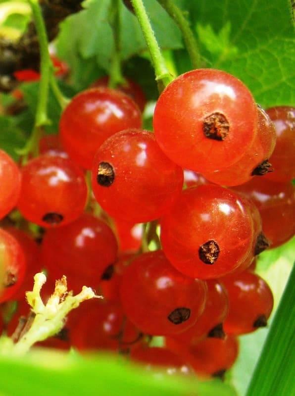 Смородина красная «натали»: описание сорта, фото, посадка и уход