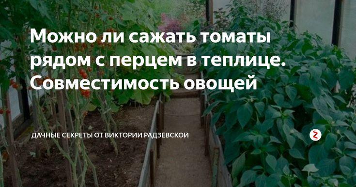 Что можно посадить вместе с помидорами в теплице, с какими культурами совместимость