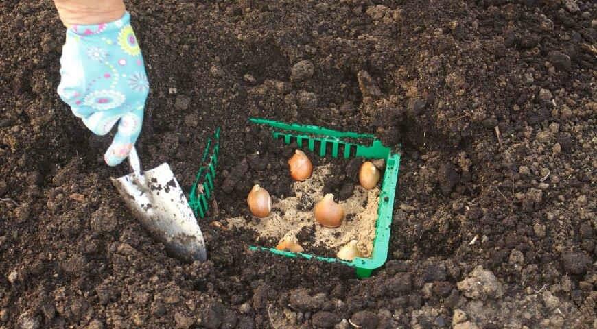 Посадка тюльпанов в корзины для луковичных – 9 достоинств и пошаговые инструкции