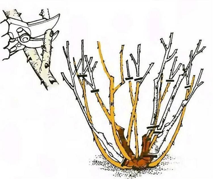 Как правильно обрезать розы на зиму и когда: по регионам (фото)