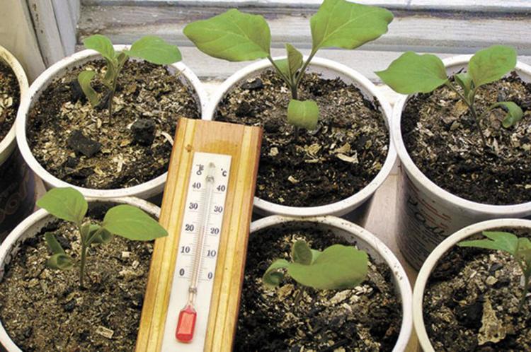 Баклажаны - посадка на рассаду: отбор и подготка семян, идеальный грунт и емкости, как и когда сажать, правильный уход за всходами русский фермер
