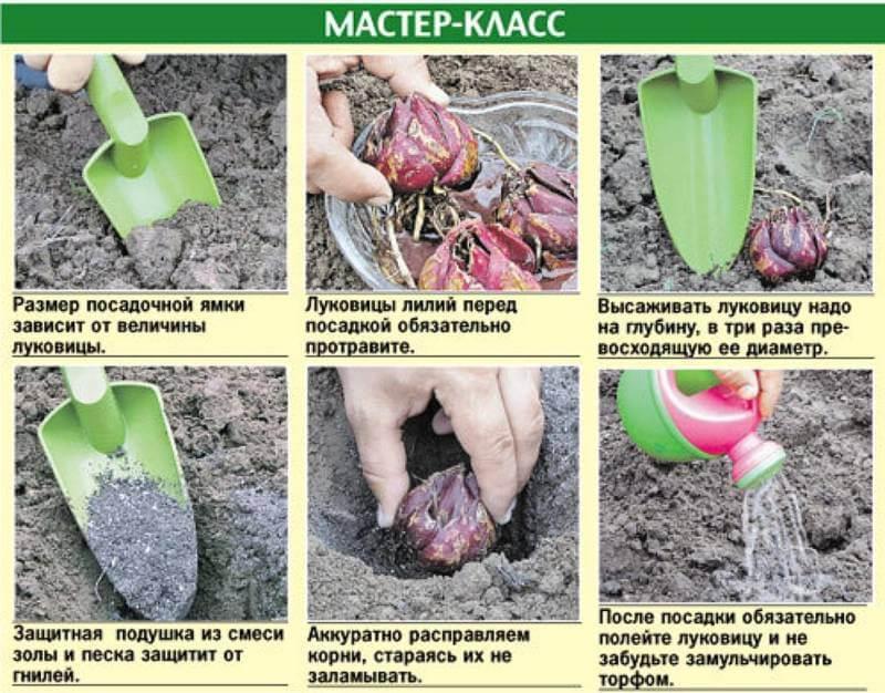 Как пересадить и размножить лилию в саду – пошаговый мастер-класс с фото - домоводство  - медиаплатформа миртесен