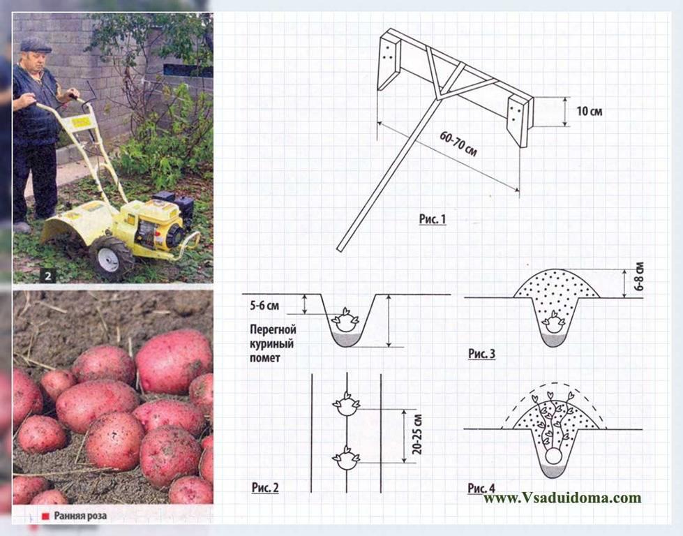 Как получить 700 кг картофеля с сотки: огородники делают неправильно 6 вещей: новости, картофель, огород, урожай, сад и огород