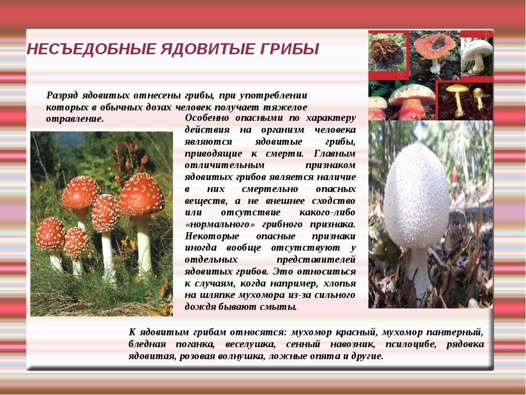 Цезарский гриб - съедобный гриб, виды, особенности, где искать и как отличить от ядовитых соседей
