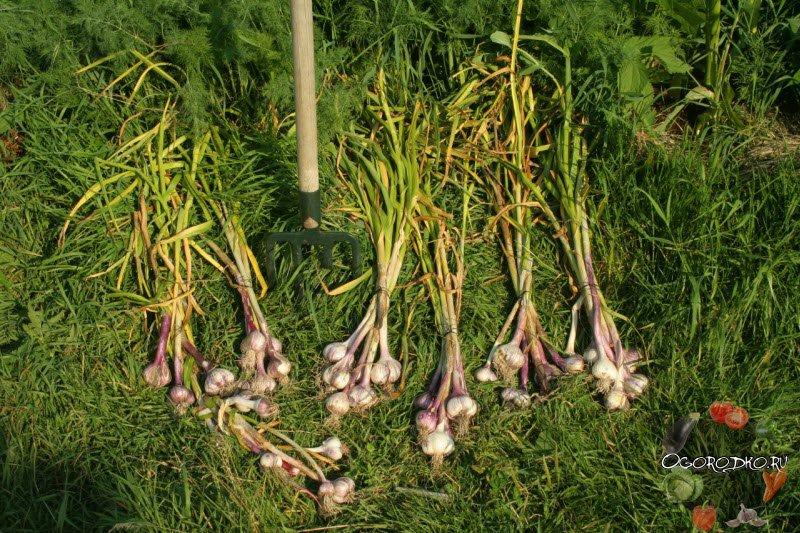 Когда убирают лук-севок и как это правильно делать?