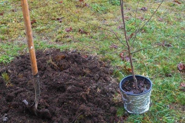 Как правильно посадить вишню весной, руководство для начинающих, как сажать саженец, пошаговая инструкция, схема посадки + видео
