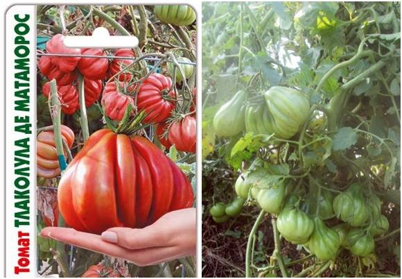 Томат «тлаколула де матаморос». описание сорта — характеристика урожайности и агротехника посадки, уход и выращивание помидора (фото)