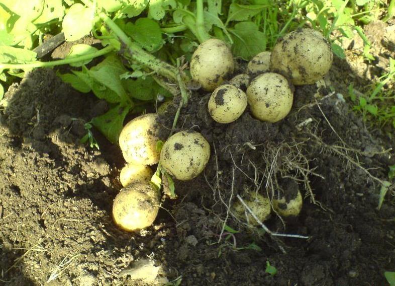 Картофель гала: описание и характеристика сорта, как выращивать в домашних условиях