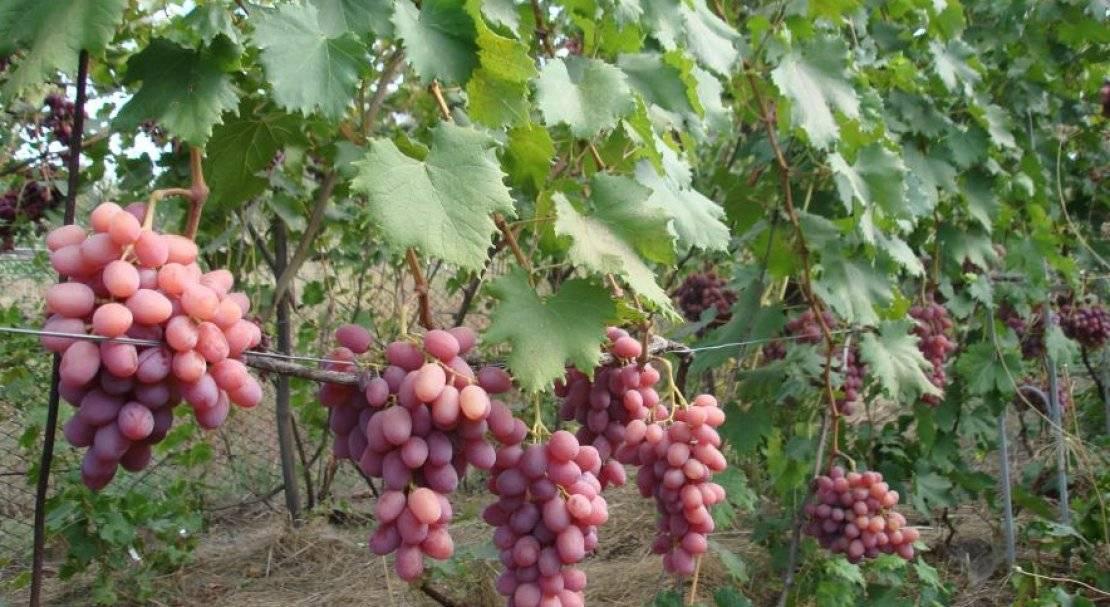 Фаворит виноградарей украины — сорт винограда рубиновый юбилей