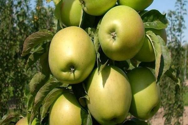 Колоновидная яблоня малюха: посадка, уход и урожайность