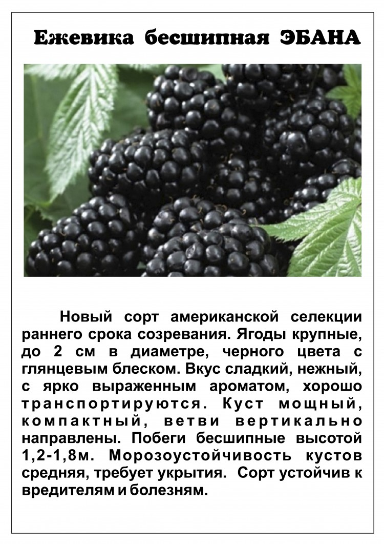 Ежевика торнфри: описание сорта, как сажать и ухаживать за ягодой
