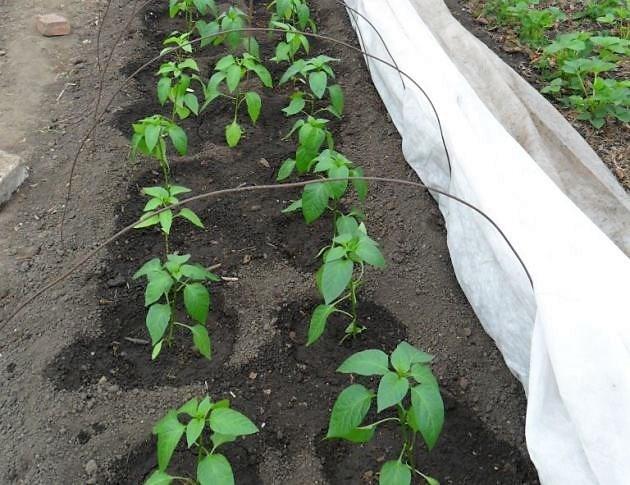 Правила и особенности выращивания перца на урале: посадка и уход, сбор урожая