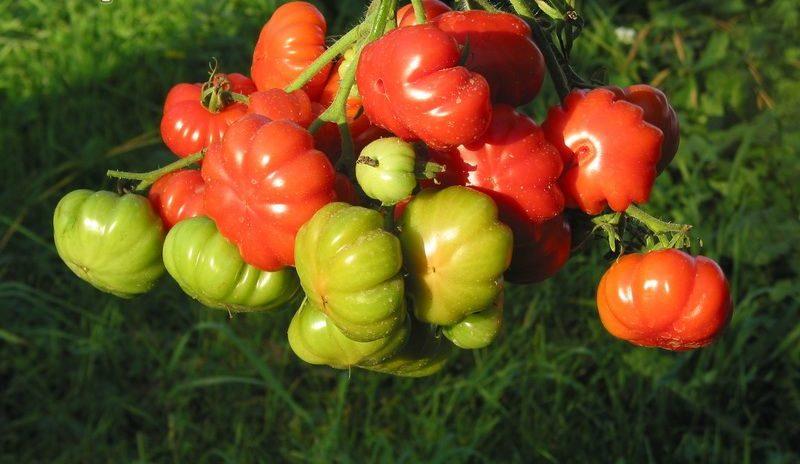 Коллекция семян редких сортов томатов от валентины редько на 2021 год