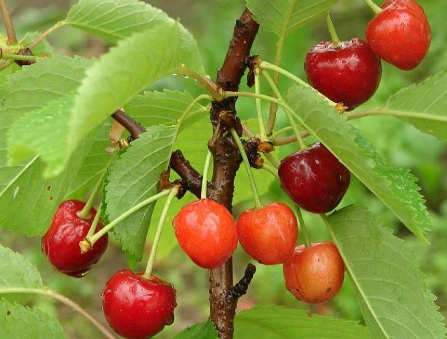 Черешня в саду — выбрать сорт для ленинградской области