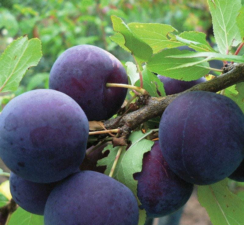 Сорта и агротехника чёрного абрикоса