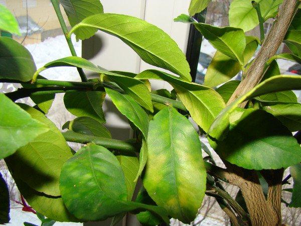 Почему желтеют листья у мандарина: причины болезни и что делать