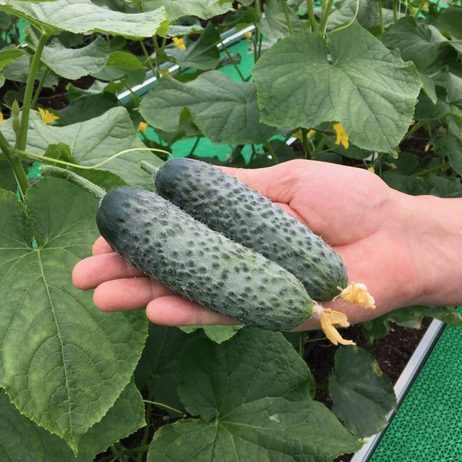 Среднеспелый сорт огурцов «конкурент» с хорошей урожайностью и простыми условиями выращивания