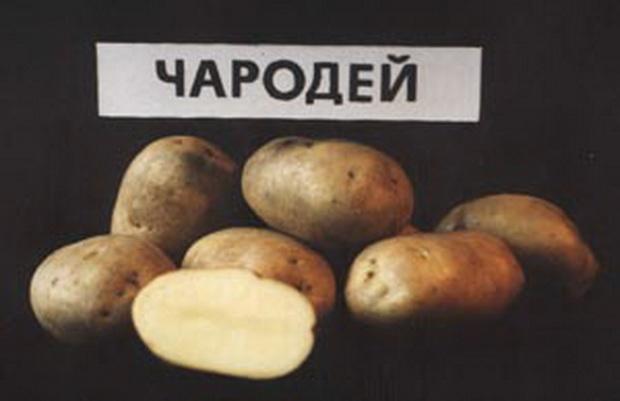 """Картофель чародей - описание сорта, фото, отзывы, посадка и уход - журнал """"совхозик"""""""