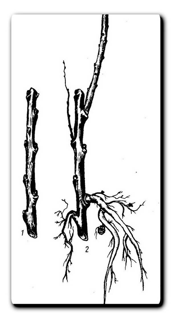 Облепиха: посадка и уход в открытом грунте, выращивание на даче летом и осенью, какую почву любит