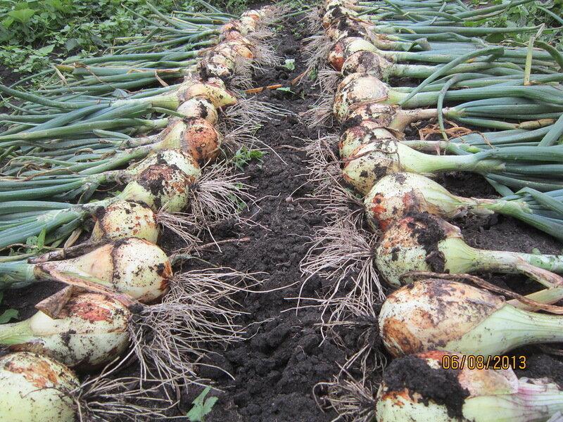Выращивание лука эксибишен в сибири через рассаду: сроки, когда сажать, можно ли сеять семена в открытый грунт, как вырастить культуру в этом регионе?