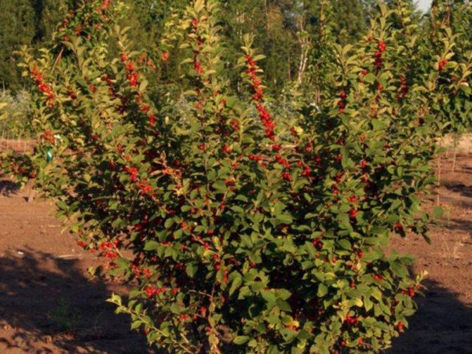 Карликовая вишня