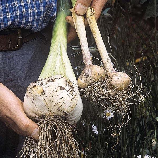 Лук-чеснок рокамболь все о нем: выращивание и уход, применение, польза и вред