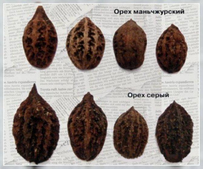 Описание и характеристики ланкастерского ореха, посадка и уход - всё про сады