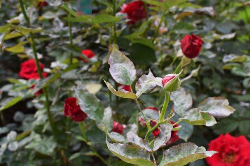 Меры борьбы с мучнистой росой на розах в домашних условиях: как избавиться