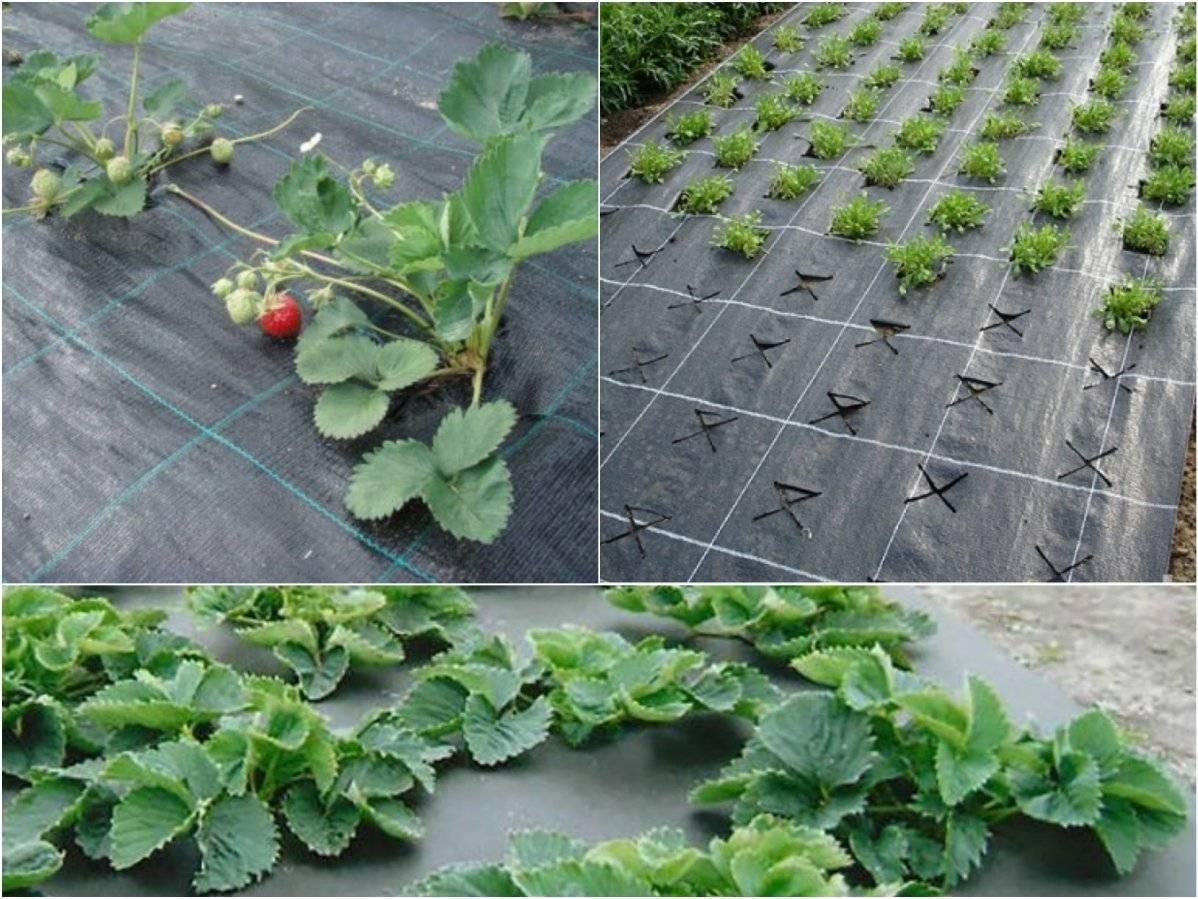 Как посадить клубнику под черный укрывной материал, особенности ухода