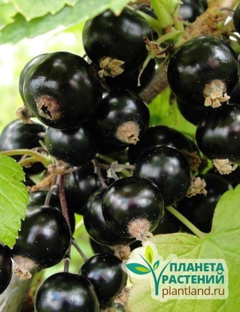 Смородина черная селеченская 2: описание сорта, фото, отзывы