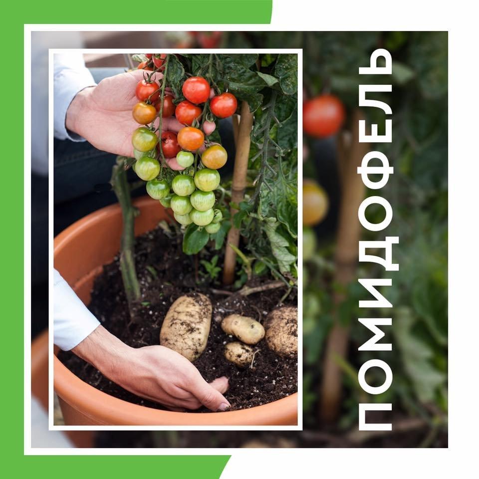 Помидофель: описание скрещенного сорта и его выращивание с фото
