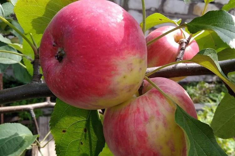 Яблоня анис: свердловский, алый, полосатый - описание, фото, отзывы