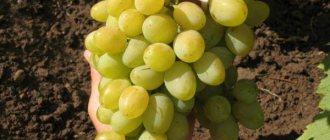 Виноградный сорт бианка — описание и правила агротехники