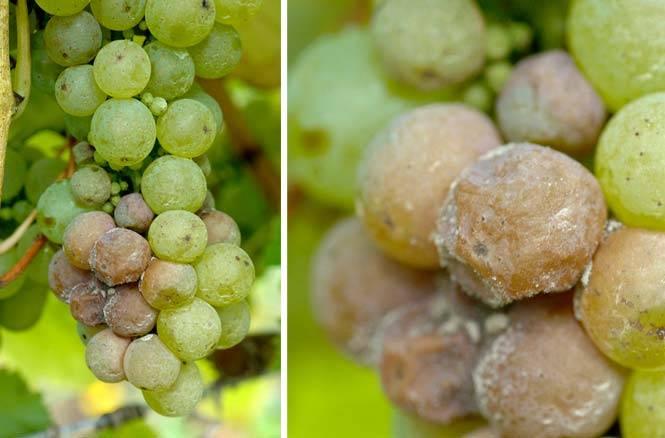 Серая гниль на винограде и другие виды: фото, почему гниют ягоды прямо на кусте, чем и когда обработать кисти, чем лечить? selo.guru — интернет портал о сельском хозяйстве