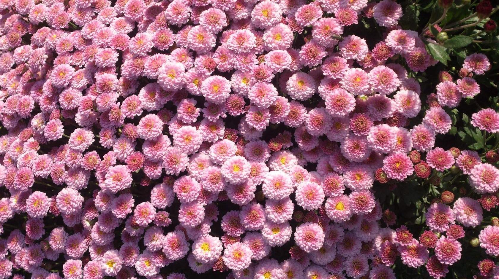 Правила посадки и ухода за хризантемой мультифлора и топ-9 красивых сортов